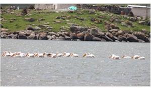 Çıldır Gölü pelikan akınına uğradı