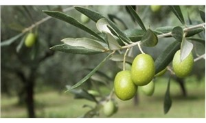 Disputed articles on olive trees in Turkey taken off from draft bill amid objections