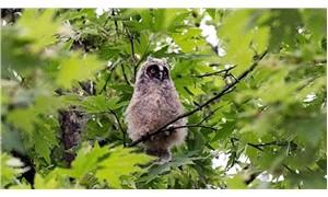Kulaklı orman baykuşu yavruları yuvadan uçtu