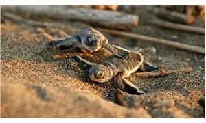 Mezitli sahillerinde 'caretta caretta' uyarısı