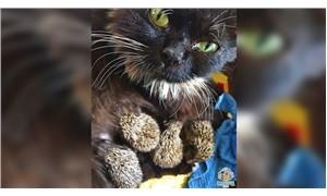 Yeni doğum yapan kedi, annesiz kirpi yavrularına sahip çıktı