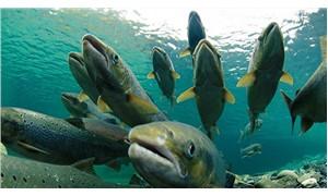 160 bin somon, balık çiftliğinden kaçtı