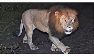 Etiyopya aslanı ilk kez görüntülendi
