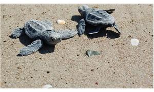 Evlatlık saz kedisi, turna ve deniz kaplumbağası!