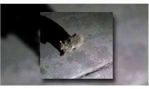 Boz ayı üniversite yurdunda yiyecek aradı