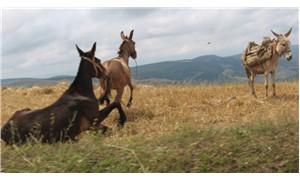 Son 10 yılda at, eşek ve katır sayıları neredeyse yüzde 50 azaldı!