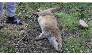 Nesli tükenmekte olan su samuru öldürülmüş olarak bulundu