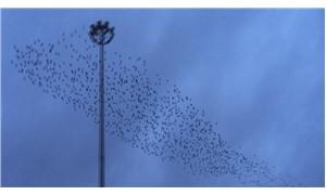 Sığırcık kuşları İstanbul semalarında