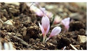 İlkbaharın müjdecisi 'kar çiçekleri' bir ay erken açtı