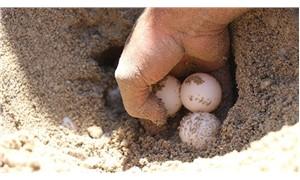 Caretta carettalar bu yıl yumurta bırakmaya erken başladı