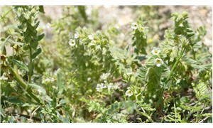 128 yıl sonra yeniden bulunan 'bağ havacivası' bitkisi, kayıt altına alındı