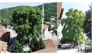 1226 yıllık çınar ağacı, koruma altına alındı
