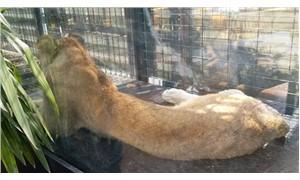 Kafedeki hayvan istismarı ile ilgili yeni gelişme