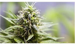 50 milyon doz bonzai üretilebilecek miktarda uyuşturucu ele geçirildi