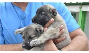 8 yavru köpeğin kulaklarını kesip barınağa bıraktılar