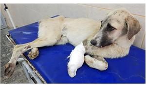 Antep'te kuyruğu ve ayağı kesik köpek bulundu