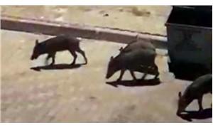 Aç kalan domuz sürüsü Bodrum'a indi