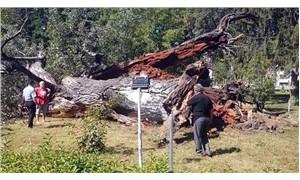 529 yıllık kavak ağacı devrildi