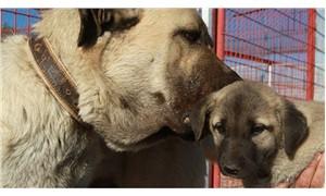 Kangal köpeği, 'özel ırk' olarak kabul gördü
