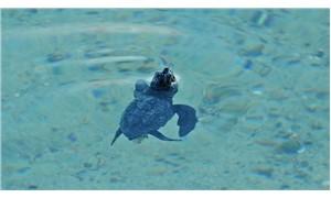 Çeşme'nin ilk caretta caretta'ları denizle buluştu