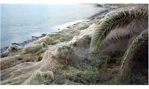 Sahil şeridinde 300 metrelik örümcek ağı bulundu