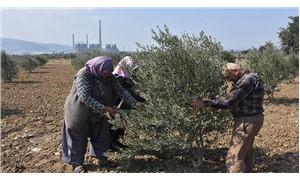 Yırca'da yeniden oluşturulan zeytinlikte ilk hasat