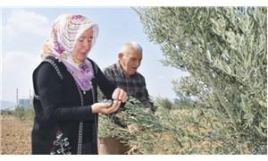 Köylülerin hayat verdiği zeytinlikte ilk hasat