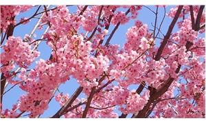 Japonya'nın kiraz çiçekleri 6 ay önceden açtı