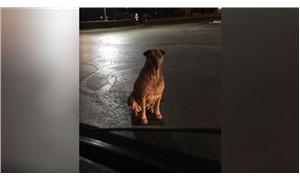 Fast Food bağımlısı köpek, bedava hamburger için evsiz taklidi yapıyor