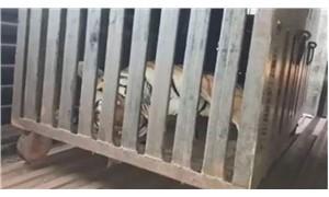 Hindistan'da '13 insanı yiyen' kaplan öldürüldü