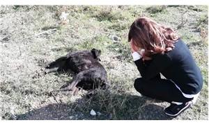 Ayvalık'ta bir köpek av tüfeğiyle öldürüldü