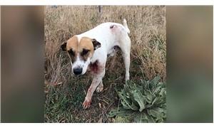 Isparta'da bir köpek tüfekle boğazından vuruldu