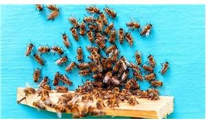 Senegal'de arıların soktuğu 2 kişi öldü