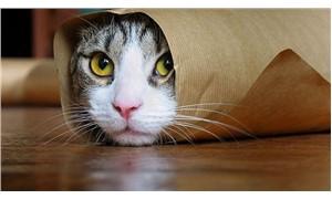 En konuşkan kedi türü hangisi?