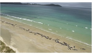 Yeni Zelanda'da 145 pilot balina karaya oturdu
