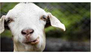 Sahibinin 20 bin avrosunu yiyen keçiyi kesip yediler