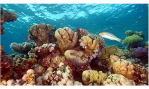 Önümüzdeki nesil, mercan resiflerine tanık olamayabilir