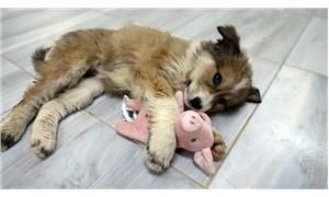 Yaralı bulunan yavru köpek yaşama tutundu