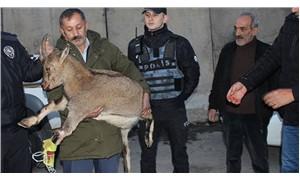 Çığın altında kalan dağ keçisinin iki bacağı kırıldı