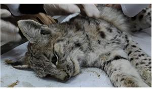 Bingöl'de bitkin bulunan yavru vaşak koruma altına alındı