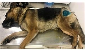 Bilecik'te köpeği av tüfeğiyle vurdular