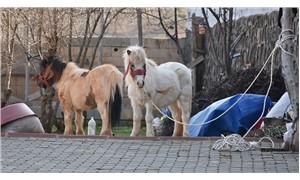 Çiftlikten kaçan Doru'yu 2 yıldır görmediği yavrusu 'Pamuk' çiftliğe döndürdü
