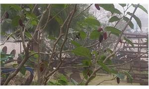 Dut ağacı kış ayında meyve verdi