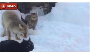 Köye inen tilki, kedilerle ekmek için mücadele verdi