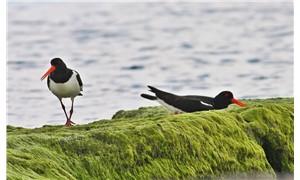 Hersek Lagünü'nde görülen kuş türü sayısı 208'e çıktı