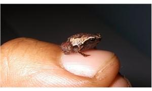 5 yeni kurbağa türü keşfedildi