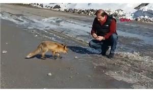 Maltepe Belediye Başkanı Ali Kılıç memleketinde tilki besledi