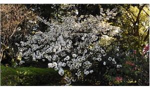 Japonya'da yeniden doğuşun simgesi: Kiraz çiçekleri 'sakura'