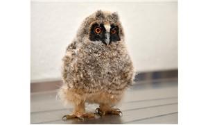 Manisa'da bulunan kulaklı yavru baykuş bakıma alındı