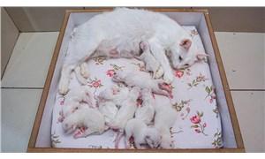 Van kedisi Nazlı tek seferde 10 yavru doğurdu